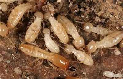 Photo Traitement termites n°126 à Maisons-Alfort par RODENTIA SERVICES 3D / RATUAL